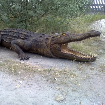 Der Alligator